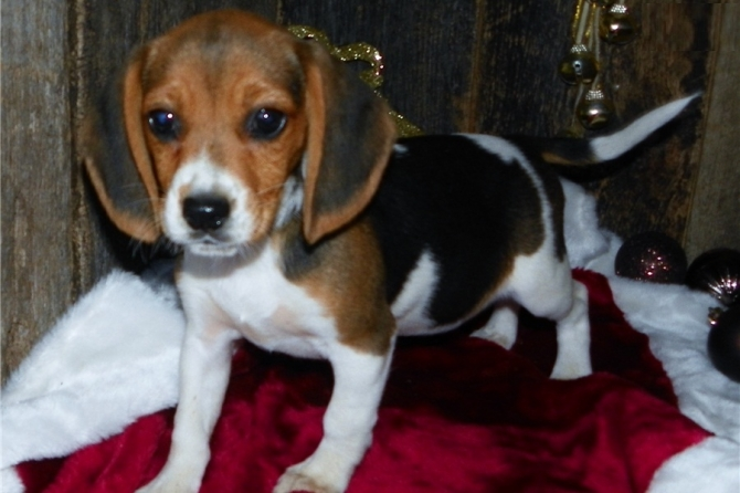 Boy and Girl Male and Beagle Puppies Available.!!-